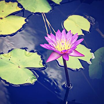 Water Lily by Jonicool