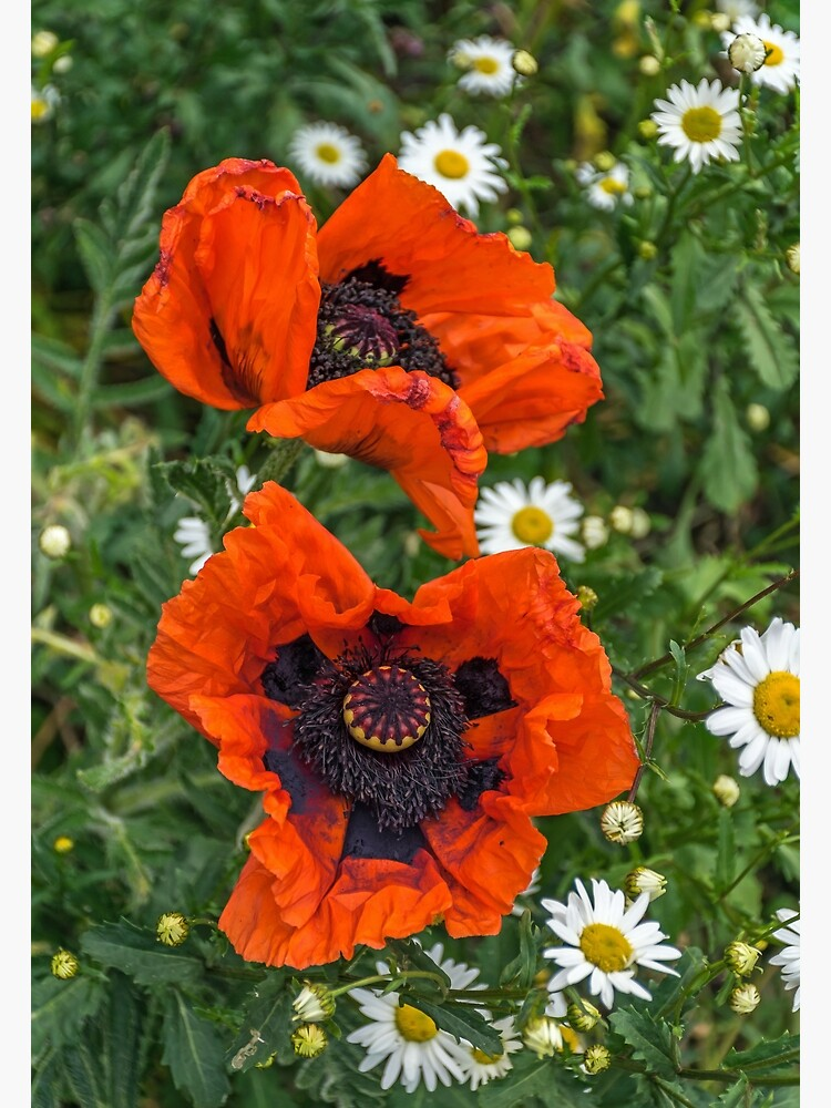 Two poppies and white daisies by tdphotogifts