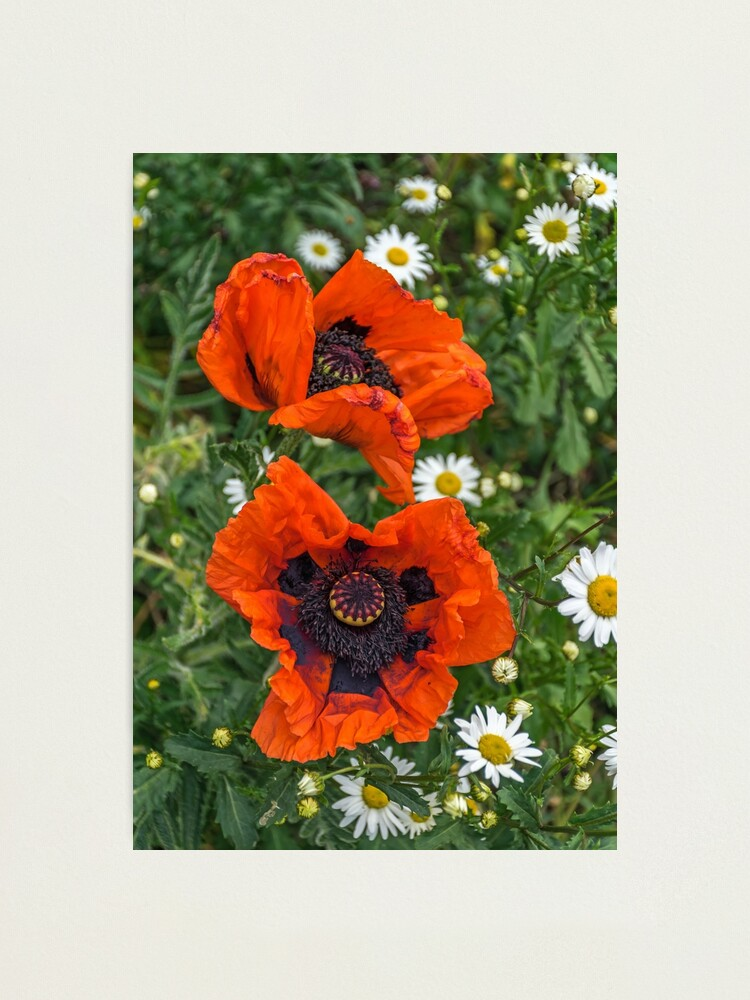 Alternate view of Two poppies and white daisies Photographic Print