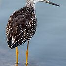 Greater Yellowlegs Looking Over Shoulder by Wolf Read