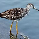 Greater Yellowlegs Profile by Wolf Read