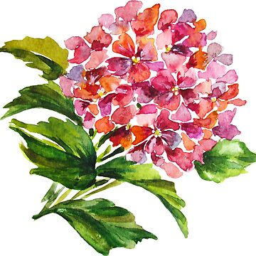 Watercolor illustration of hydrangea flowers by ativka