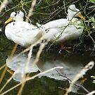 mirror duck by darren  shaw