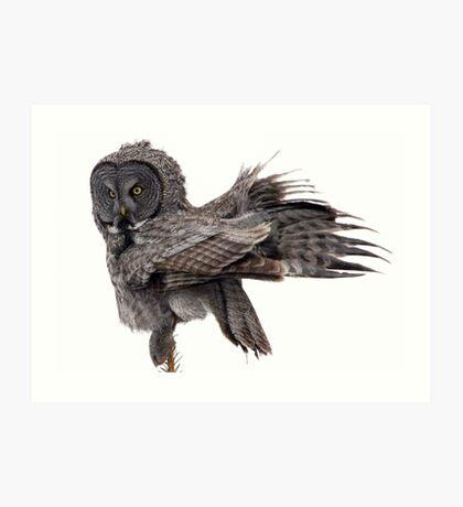 Great Grey Owl, Fluffing Art Print