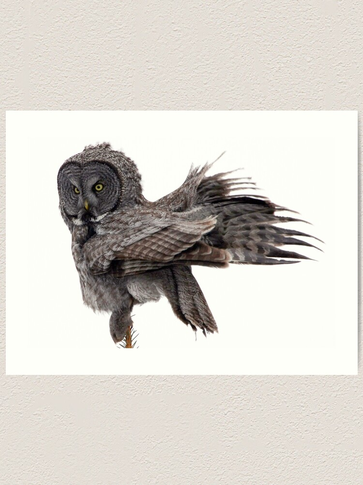 Alternate view of Great Grey Owl, Fluffing Art Print