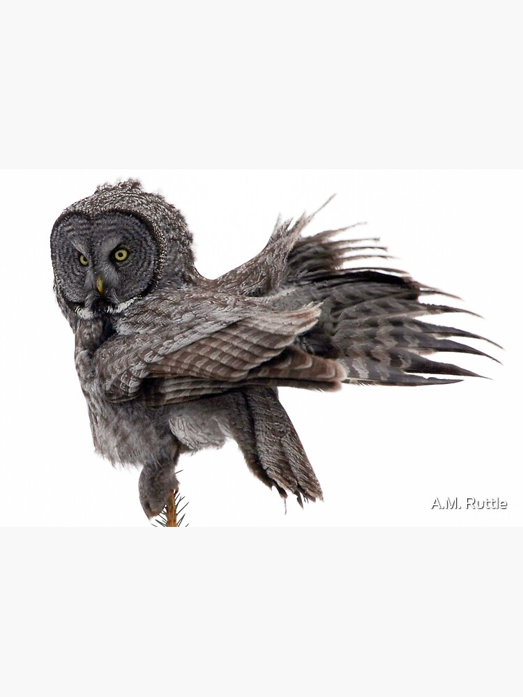Great Grey Owl, Fluffing by annruttle
