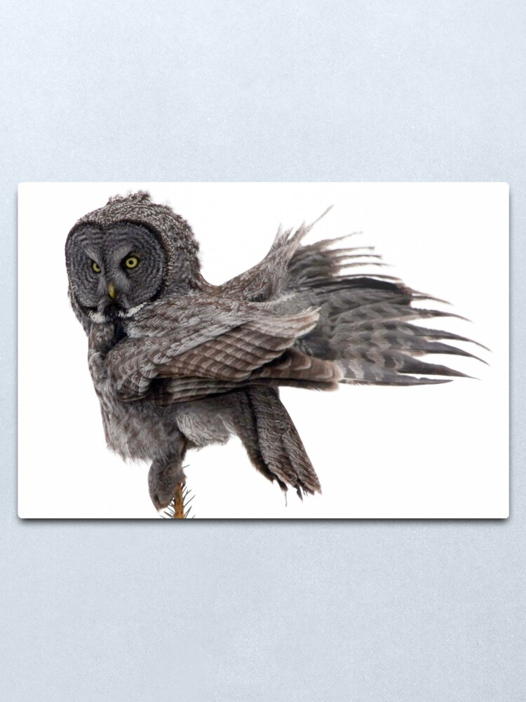 Alternate view of Great Grey Owl, Fluffing Metal Print