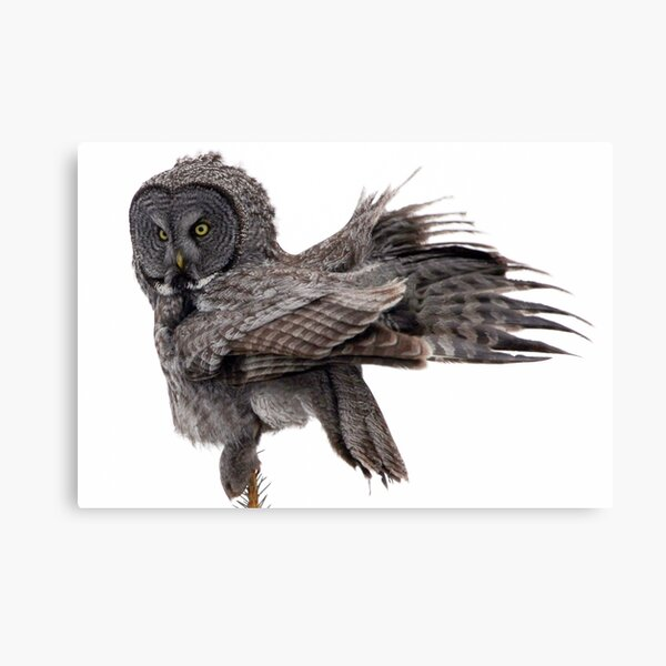 Great Grey Owl, Fluffing Canvas Print