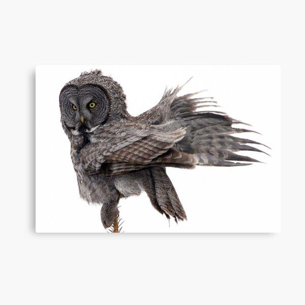 Great Grey Owl, Fluffing Metal Print