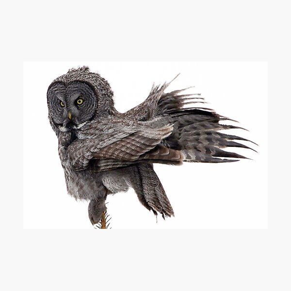 Great Grey Owl, Fluffing Photographic Print