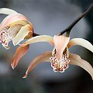 August Orchid by picketty