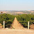 Vineyard, McLaren Vale, Australia by FranWest