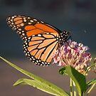 Monarch at Sunset by David Lamb