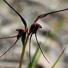 Mayfly Orchid (Acianthus caudatus) by Bev Pascoe