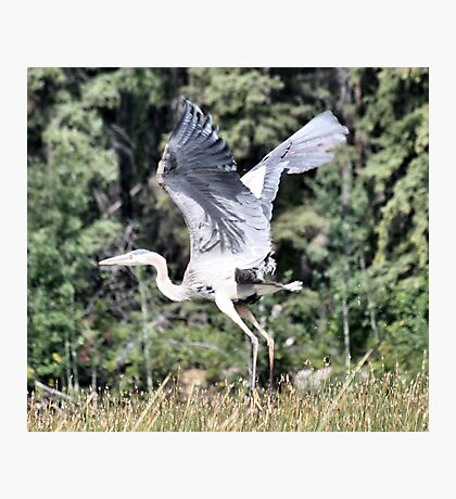 Immature Great Blue Heron Photographic Print