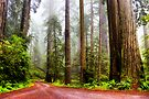 Giant Redwoods in the Mist, California, USA by PhotosEcosse