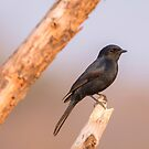 Black Fly Catcher by Shaun Colin Bell
