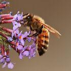 Honey Bee & Budlea by AnnDixon