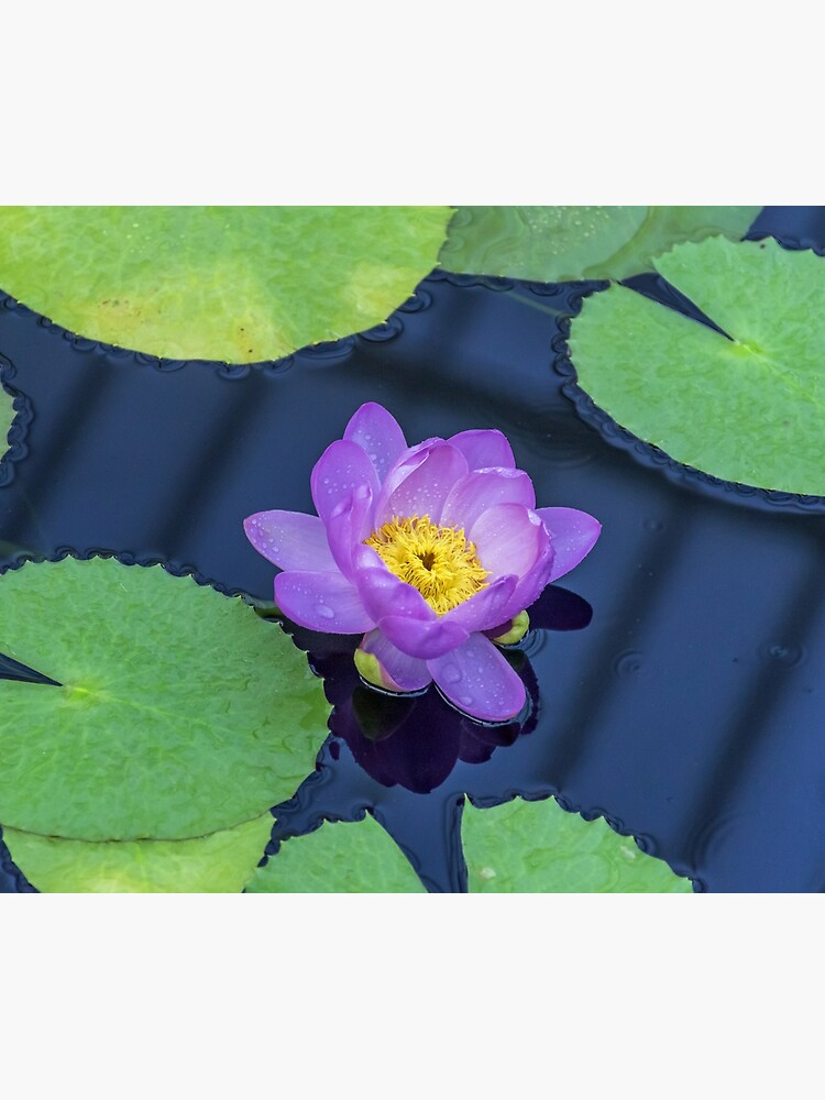 Purple waterlily up close by tdphotogifts
