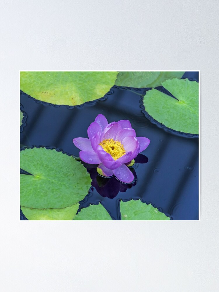 Alternate view of Purple waterlily up close Poster