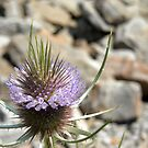 Teasel with Lavender Blooms by debbiedoda