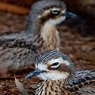 Bush-Stone Curlews by margotk