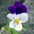 The Wild Pansy by Barrie Woodward
