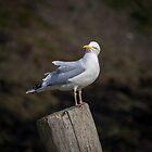 Herring Gull, Boscastle by M G  Pettett