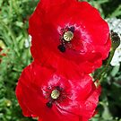 Poppies by Barrie Woodward