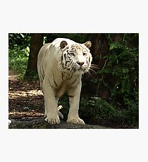 "White Tiger ""Omar"" Photographic Print"
