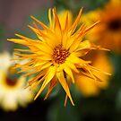 Marigold Extravaganza by Kasia-D