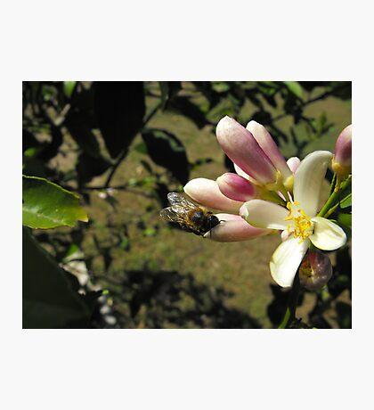 Sweet Flower of the Lemon Photographic Print