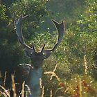 Fallow Deer (Dama dama) (19) by DutchLumix