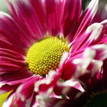 Velvet Pink Flower by Charuhas