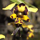 Leopard Orchid  (Diuris pardina) by Bev Pascoe