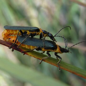 Beetle piggyback. by malleus