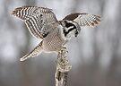 Northern Hawk Owl by Jim Cumming
