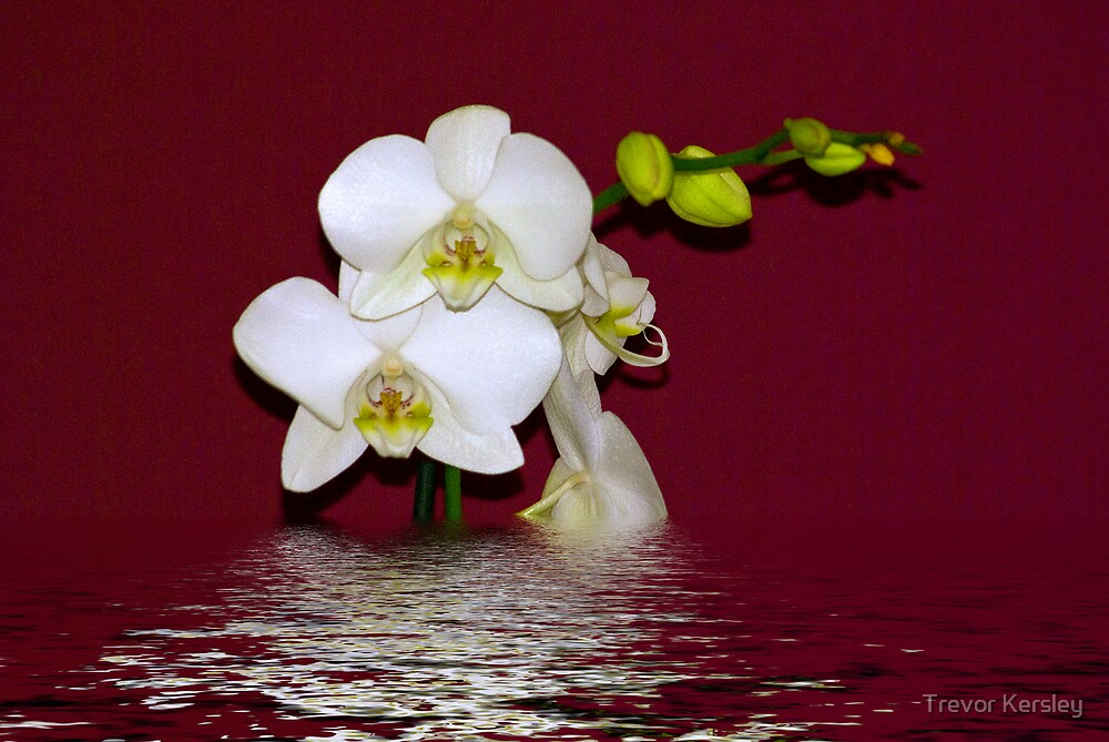 Moth Orchid by Trevor Kersley