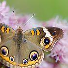 Common Buckeye by Kirstyshots