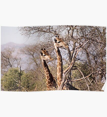 DID YAH SEE THAT..! Giraffe camelopardalis Poster