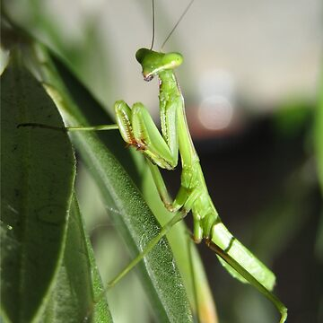Praying mantis by malleus