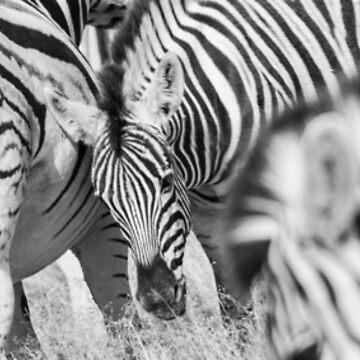 Zebra herd oblong black and white stripe full frame. by brians101