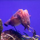 Giant Cuttlefish - Sepia apama by DPalmer
