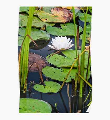 Framed Water Lily Poster