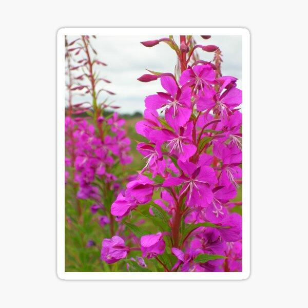 Rosebay Willow Herb (Chamaenerion) At Drumossie Moor Sticker