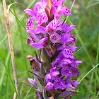 Heath Spotted Orchid At Culloden by lezvee