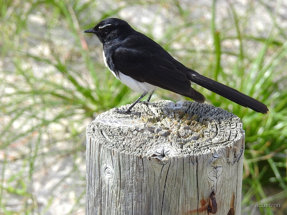 Willy Wagtail, everybodys friend by adbetron