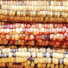 Colorful Corn Kernels by Phil Perkins