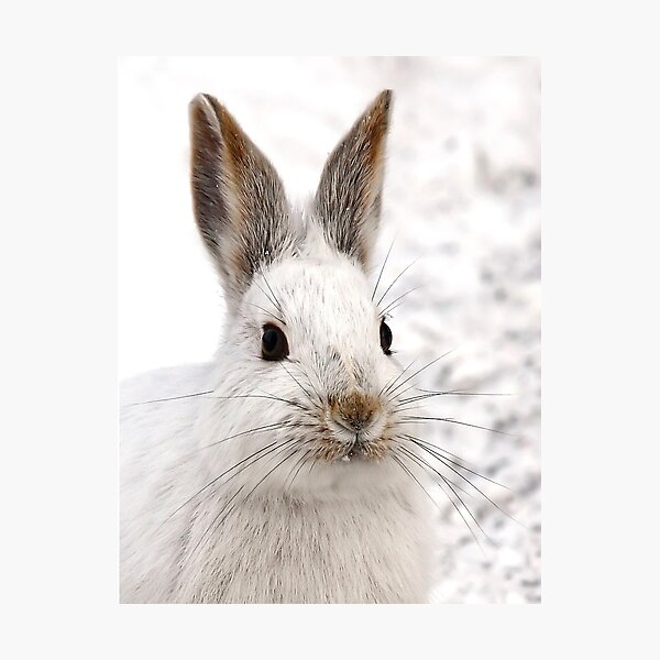 Snowshoe Hare closeup Photographic Print