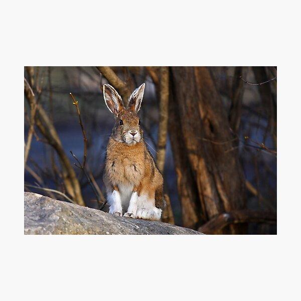 This Rabbit Rocks - Snowshoe Hare Photographic Print